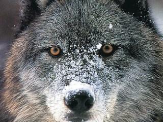 CDA112-wolf-card