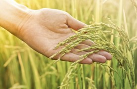 Proposal for a Business Institute for Sustainable Rice Production to Go Before Rice Committee