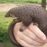 52 pangolins saved from wildlife trafficking syndicate