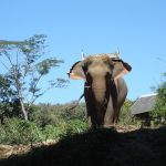 Smuggling ring threatens wild elephants