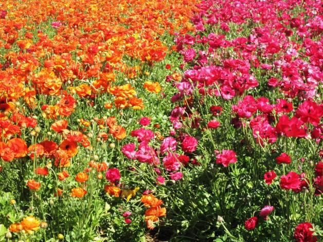 حقول الورد الرومانسية 8