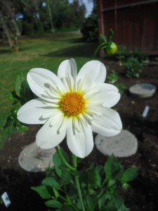 Dahlias from Seed-Are They Different?