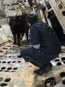 A veterinarian provides care to cattle which survived crash of truck transporting them to a slaughterhouse where they would be transformed to Big Macs.