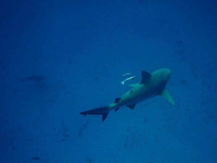 Bull shark dive / Playa del Carmen