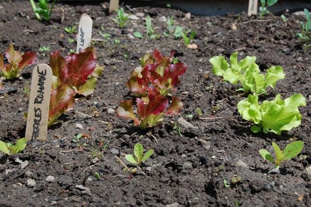 Leaf Lettuces