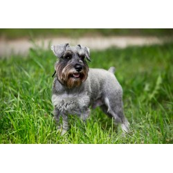 Small Crop Of Do Schnauzers Shed