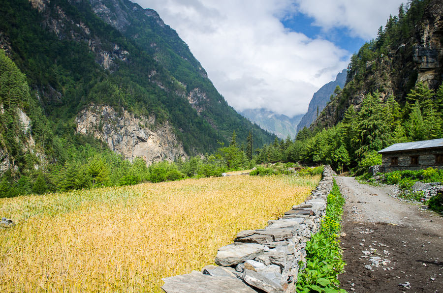 Corn fields at the base of a mountain on the Annapurna Circuit