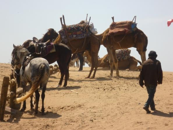 Es camels and horses