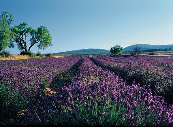 weleda-organic-lavender-garden