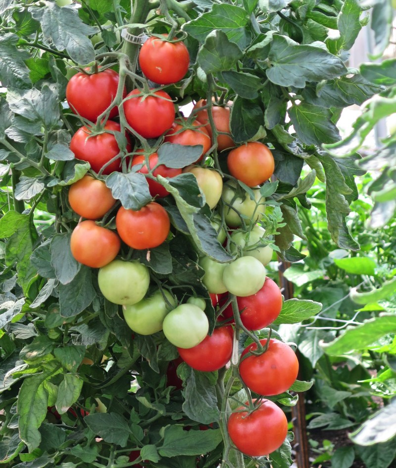 Large Of Early Girl Tomato