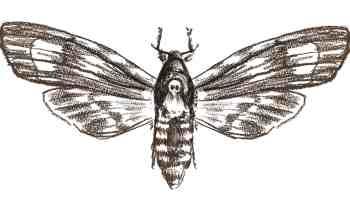Amberjacks Butterfly