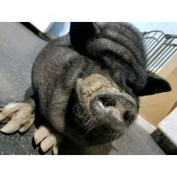 Small Crop Of Pig The Dog