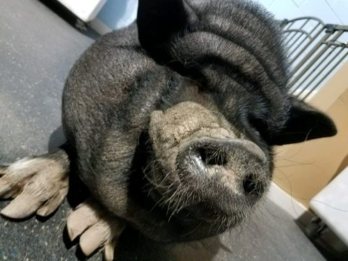 Medium Of Pig The Dog