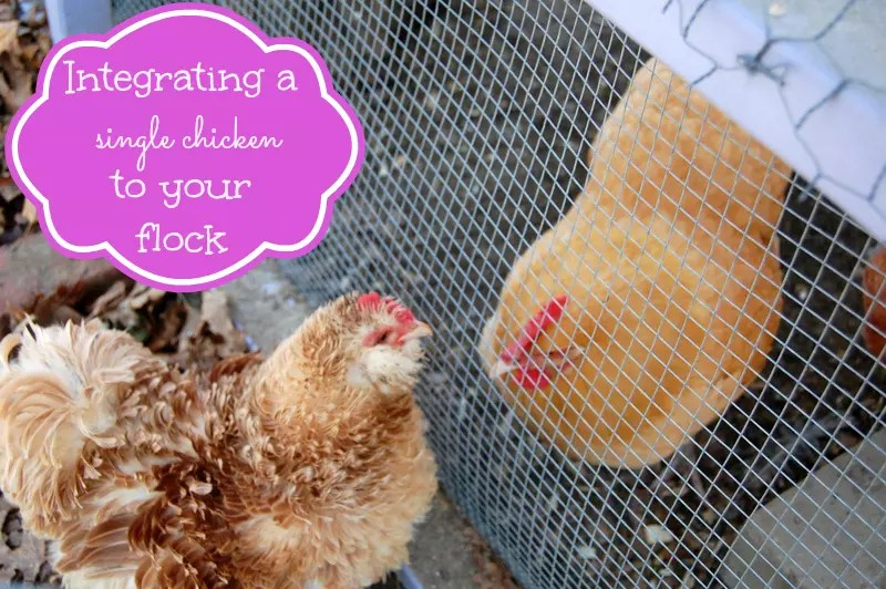 Integrating A Single Chicken to Your Flock