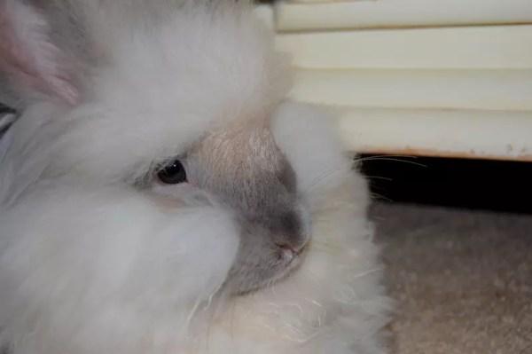 Angora Rabbits Care