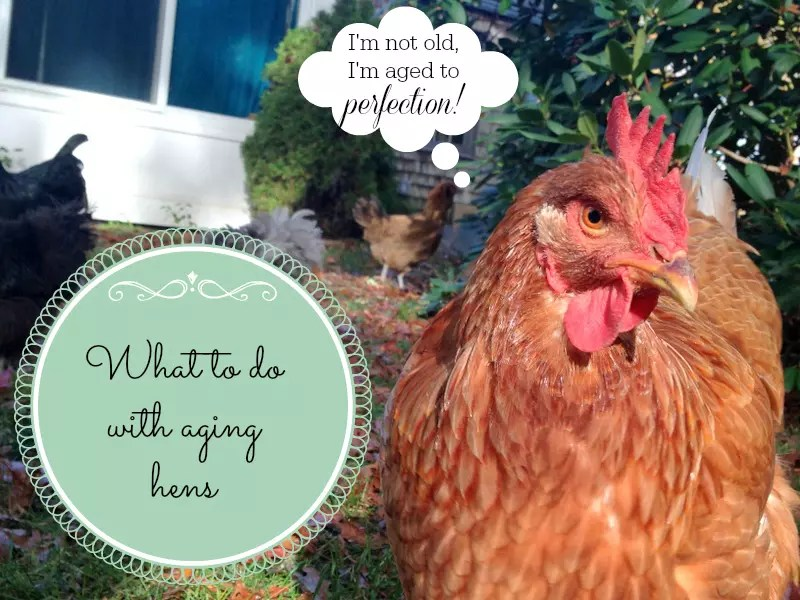 What to do with aging hens