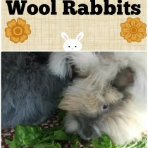Find out what you should be feeding your woolly Angora rabbits to keep them in tip top shape!