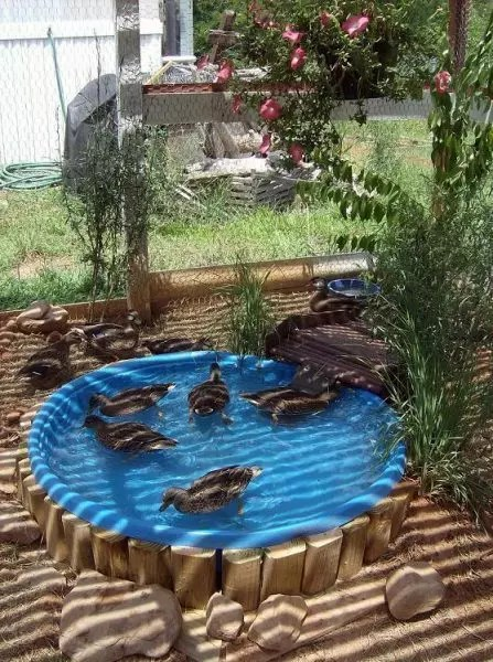 Do ducks need a pond duck pond ideas the cape coop for How to make a pool out of a stock tank