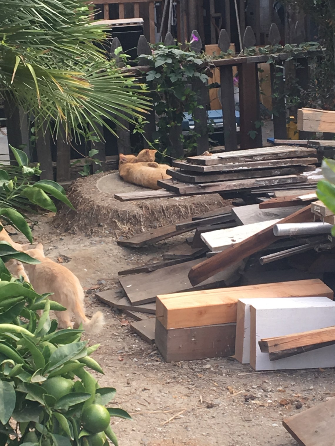 Los Rios colony cats can be seen lounging on the Historical Society's property. Photo: Courtesy of Suelyn Ritsema