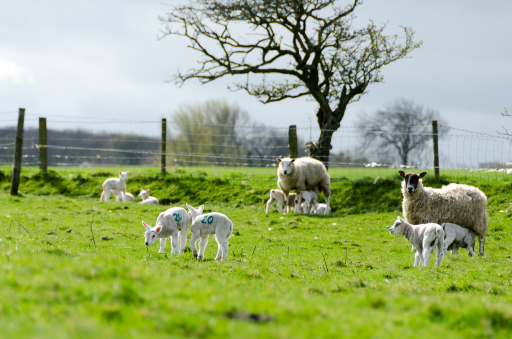 A photo of some lambs enjoying the sunshine with their mums.