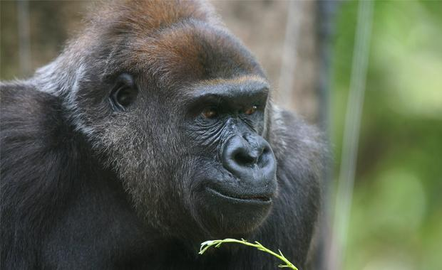yuska-gorilla-feature-image-web620_0