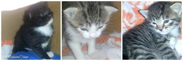 Kittens-1-Collage.jpg.jpg