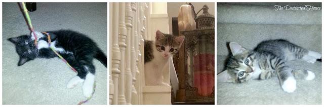 Kittens-7-Weeks-Collage.jpg.jpg
