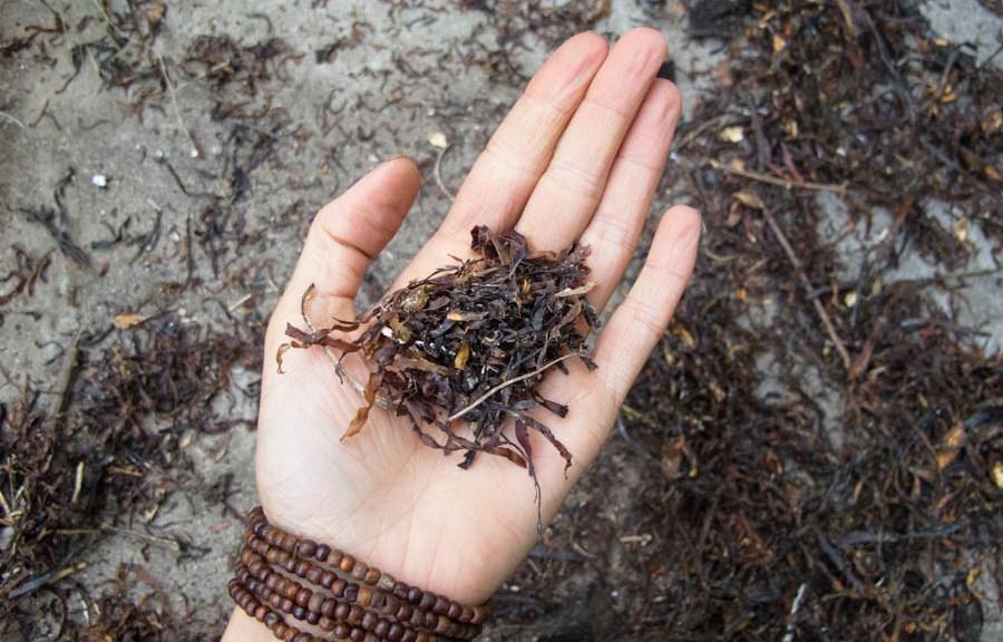 seaweed-crushed-garden-mulch-nutrients