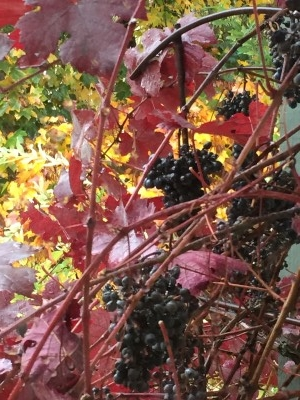 Appropriately, grapes in the fall.