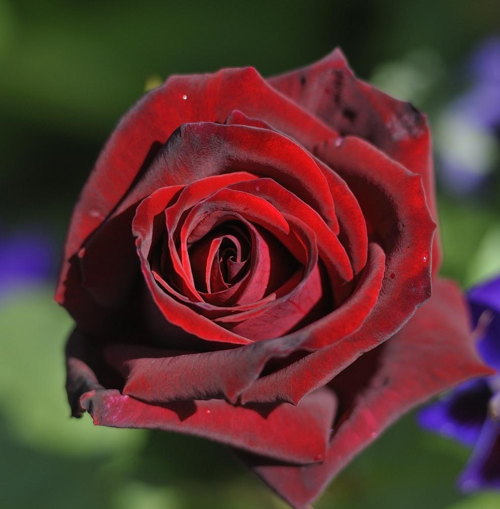 Top 6 Red Roses For The Garden - The English Garden