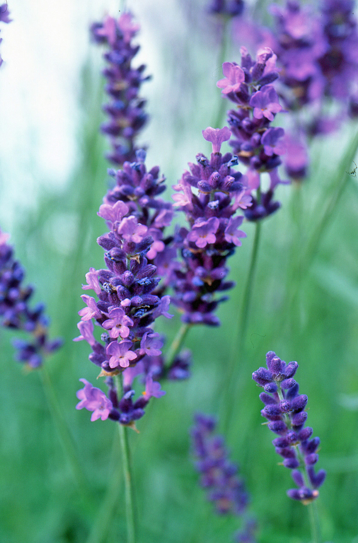 the top 10 plants for small gardens the english garden. Black Bedroom Furniture Sets. Home Design Ideas