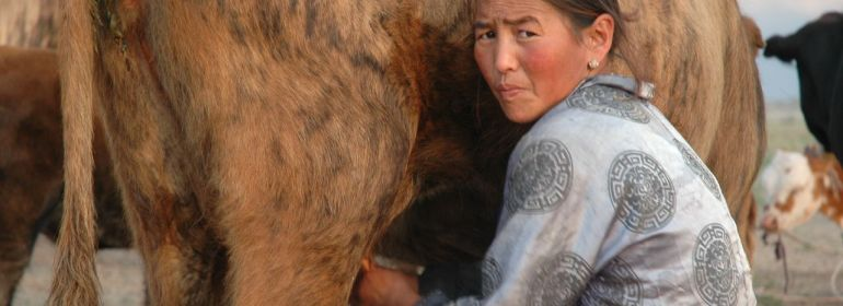 A Mongolian nomad milking a cow