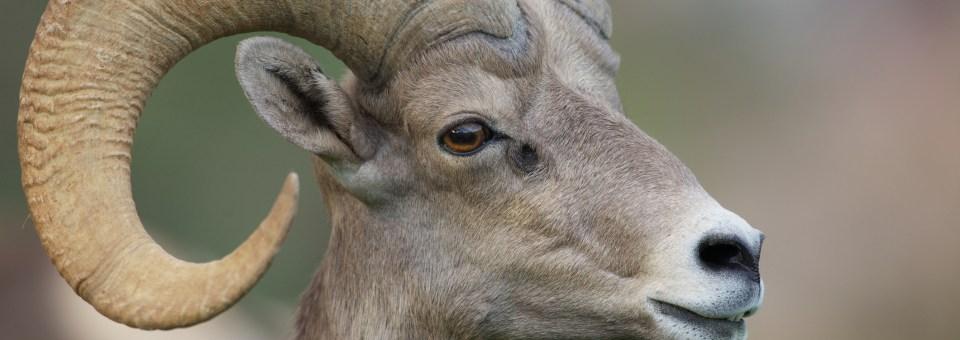 Bighorn Sheepwatch — 16
