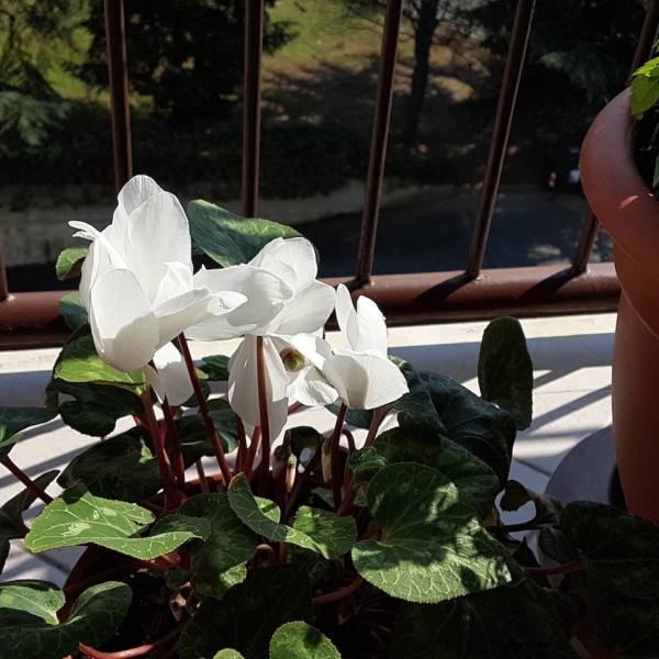 Galaxy S7 Edge, foto fiore bianco