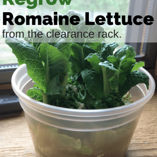 regrow romaine lettuce