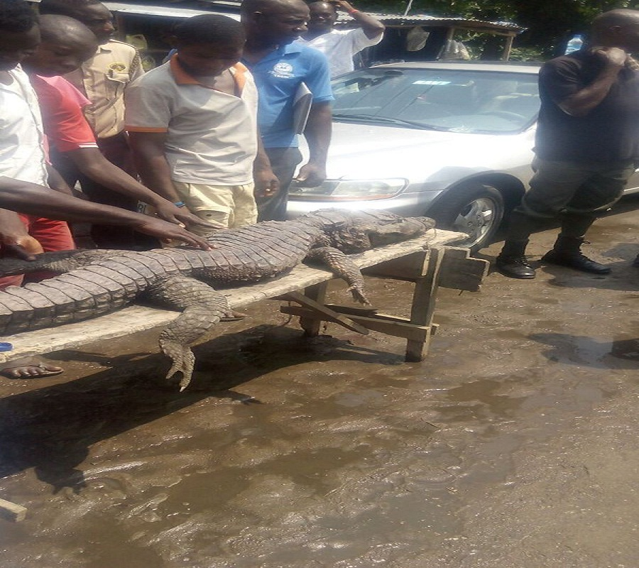 See the 'massive' crocodile caught in a Canal, in Festac, Lagos (photos).