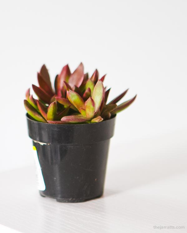 "Crassula ""Burgundy"" / Crassula platyphylla"