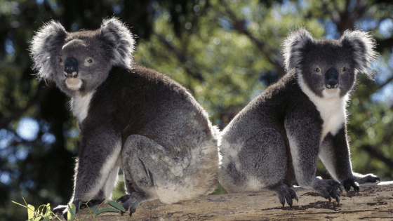 Kangas, koalas and budgies oh my - The jax Blog