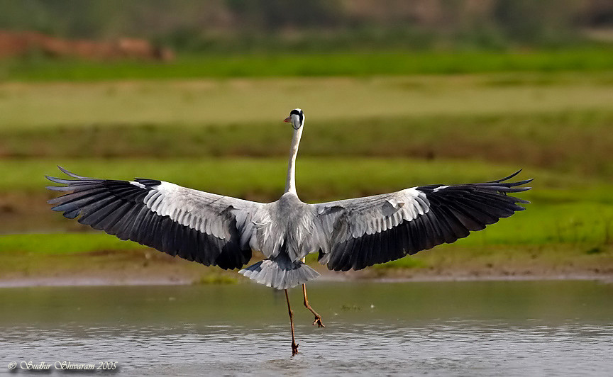 Animals World  beautiful birds of grey heron cranes gallery wallpapers of bird grey heron facts