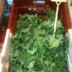 Madame Mustard's Paris Baby Kale