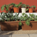 Kale in Spain: Huerta or Huerto?