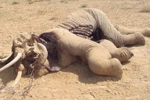 dead-elephant2