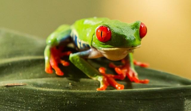 The red-eyed tree frog: Agalychnis callidryas