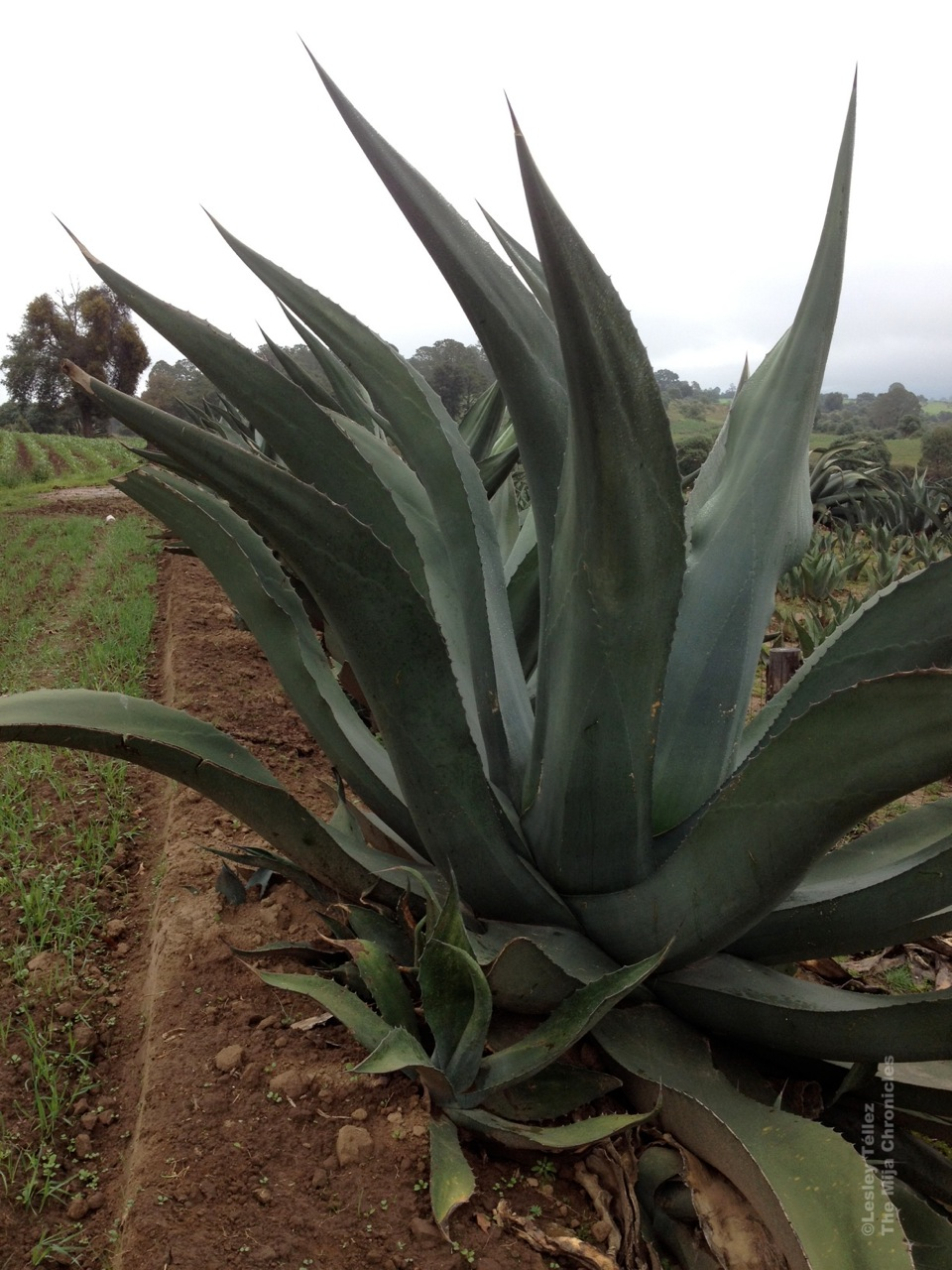 Drinking Homemade Pulque And Visiting A Real Pulque Farm