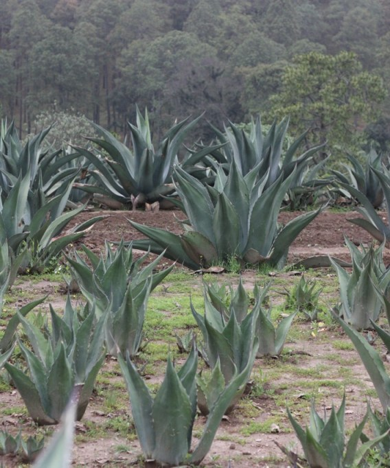 A field of maguey in Tlaxcala, Mexico.
