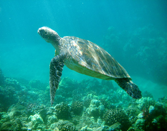 turtle_hawaii