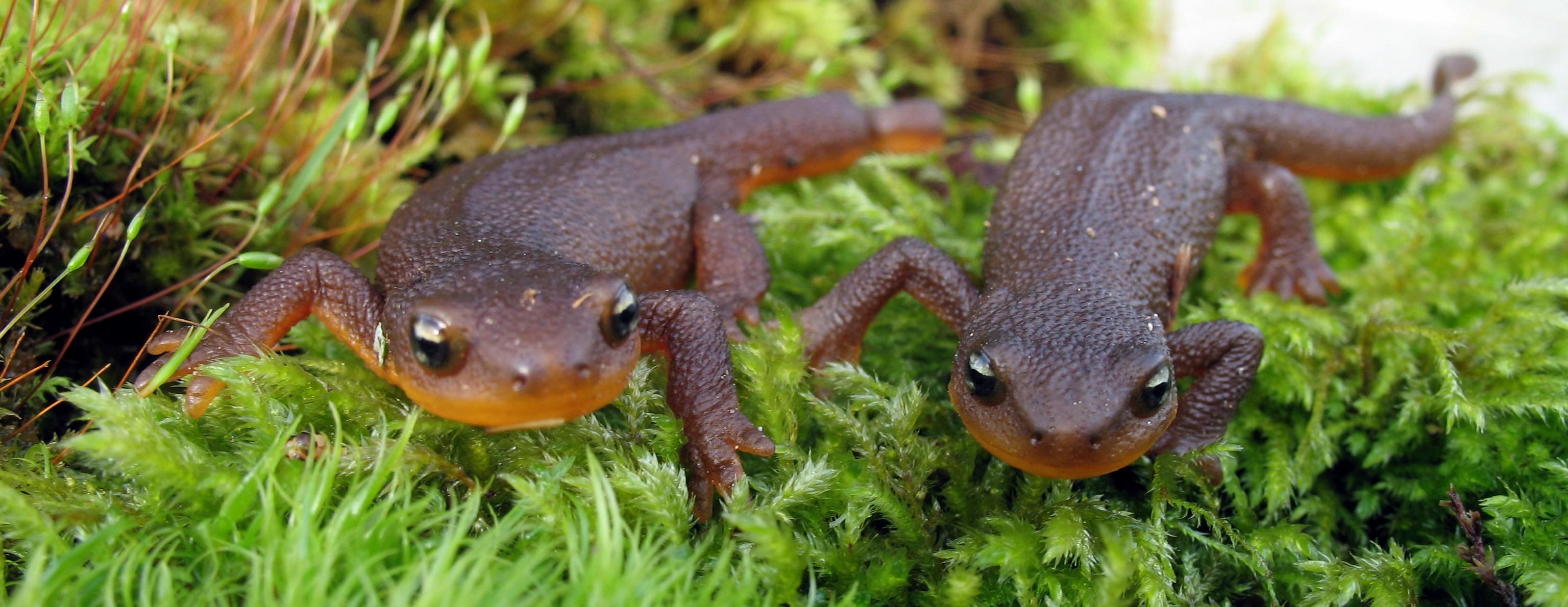 Amphibians Vancouver Island