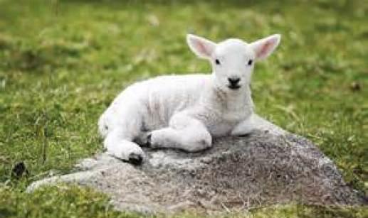 Lamb Without Spot