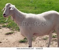 Sacrificial Goat