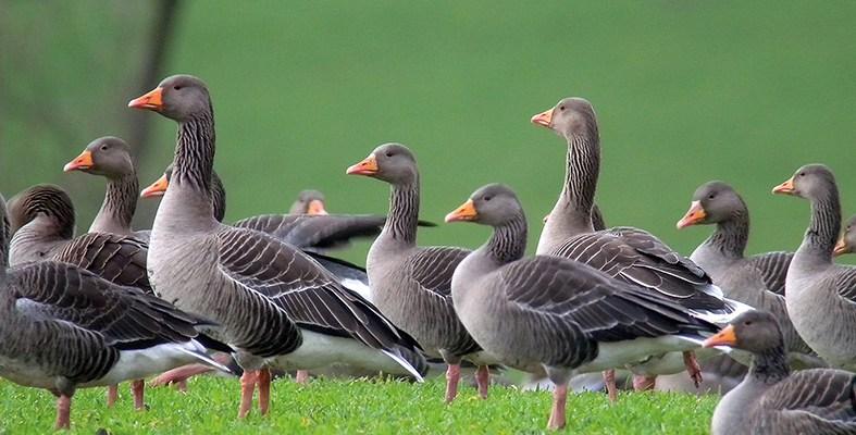 greylag-goose-caistron-271211-mike-s-hodgson